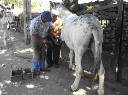Herrando mula torda, pueblo de Zamora