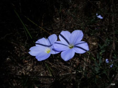Lino azul