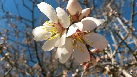 Primeras flores de almendro