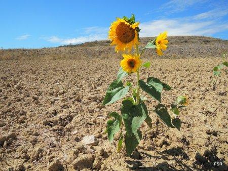 El girasol aguanta bien la sequía