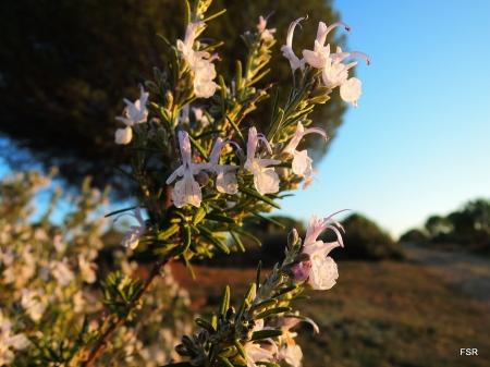 Al lado, tenemos -en pleno mes de noviembre- romeros estallando en flor