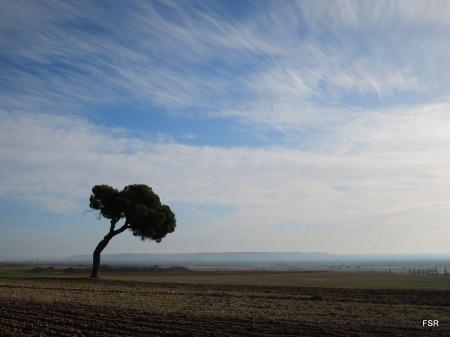 Uno de los pinos. Al fondo, el valle del Duero