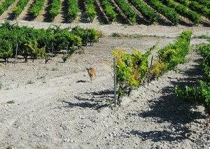 Un corzo en los majuelos del valle de San Isidro