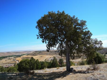 Sabina sobre el valle del Duratón
