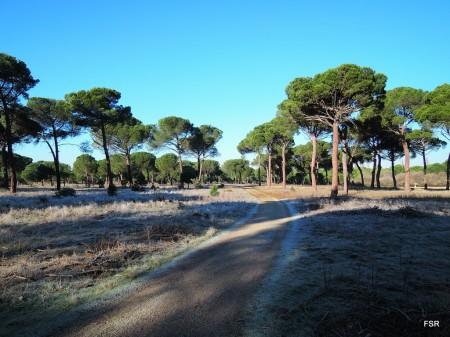 Atravesando el pinar de Simancas